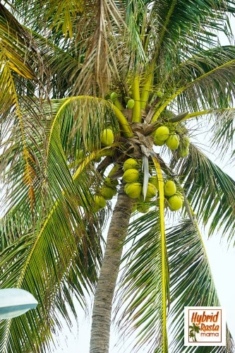 uses of coconut tree Introduction: 31 unusual uses for coconuts  a coconut tree can grow to over 50 feet tall and a coconut can weigh up to 10 pounds needless to say,.