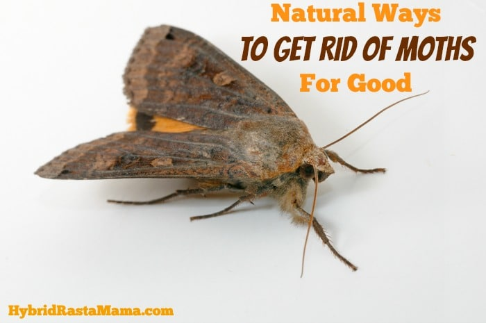 Carpet Moths How To Get Rid Of Them Naturally