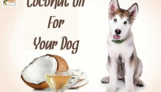 Coconut oil isn't just for us humans! Yep - coconut oil for dogs is the way to go when it comes to keeping your furry friends healthy and happy. Brought to you by HybridRastaMama.com