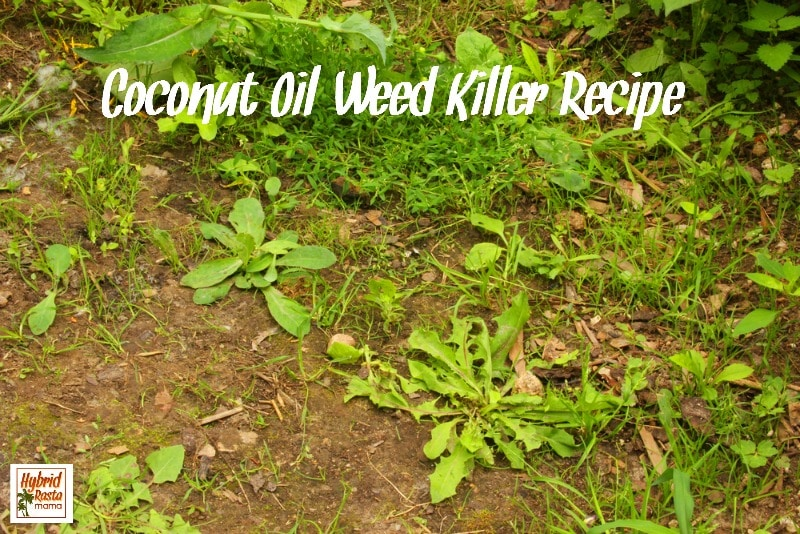 Coconut Oil Weed Killer Recipe