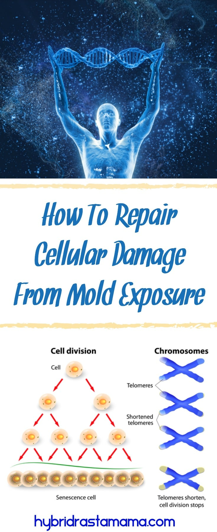 Do you know just how severe cellular damage from mold exposure is? Learn how you can repair your DNA after it has been destroyed by mold and mycotoxin exposure.  From HybridRastaMama.com #toxicmold #mycotoxins #naturalhealth