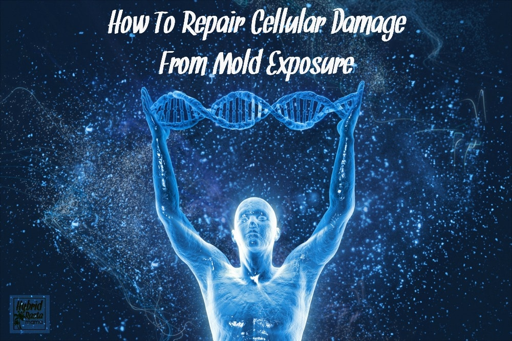 Do you know just how severe cellular damage from mold exposure is? Learn how you can repair your DNA after it has been destroyed by mold and mycotoxin exposure. From HybridRastaMama.com