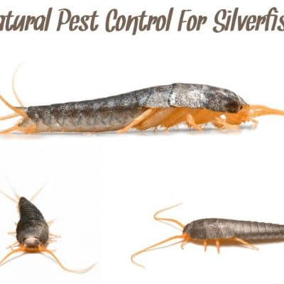 Natural Pest Control For Silverfish